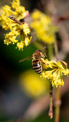 Bee at Work 1 (UpsNClowns) Tags: bee biene makro macro sony sel90m28g spring frühling arbeit work animal tier insekt insect yellow gelb a7rii