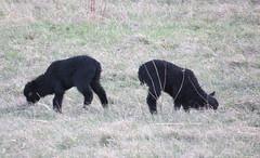 Zwie schwarze Lämmer / two black lambs (thobern1) Tags: birkenfeld erlach enzkreis badenwürttemberg germany