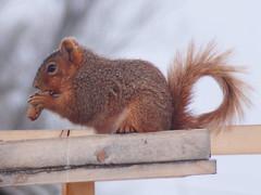 Fox squirrel (Sciurus niger) (tigerbeatlefreak) Tags: fox squirrel sciurus niger mammal rodent nebraska