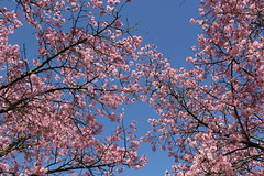 Blossom (ToJoLa) Tags: 2019 spring voorjaar lente bloemen blossom flower helmond brouwhuis pink yellow sky nature natuur natuurgebied ontrack zon maart
