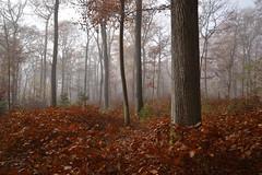 Que j'aime la forêt. ses taillis, ses futaies (Excalibur67) Tags: nikon d750 sigma globalvision art 24105f4dgoshsma forest foréts arbres trees automne autumn brume mist feuillage foliage nature
