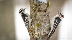 Female and Male (ER Post) Tags: bird downywoodpeckerpicoidespubescens woodpecker jenison michigan unitedstatesofamerica us dimorphism