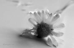 * (MargoLuc) Tags: macromondays theme picktwo damaged plant flower daisy monochrome soft natural light white background bw petals shadows bokeh backlight