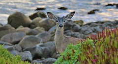 April2Image9730 (Michael T. Morales) Tags: deer ptpinos pacificgrove montereybay nature muledeer