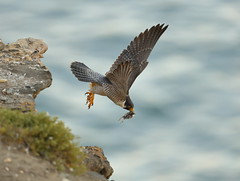 The torch is passed on: a brief history of peregrines at Pt. Fermin (charlescpan) Tags: