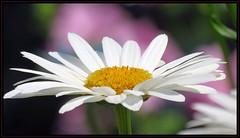 IMG_8221 On a Summer's Daisy 7-5--18 (arkansas traveler) Tags: flowers daisy shastadaisy zoom telephoto nature naturewatcher natureartphotography bokeh bokehlicious