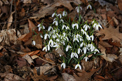Something from Nothing (Doris Burfind) Tags: snowdrops wolflane spring flowers foliage leaves oak nature
