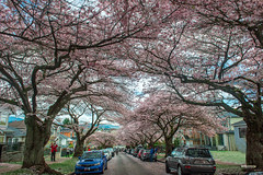 Full Cherry Blossoms in Vancouver (winson.tang) Tags: vancouver wandervancouver igersvancouver igvancouver insidevancouver curiocityvan explorebc vancouverisawesome artofvisuals vancityfeature gramslayers vancouvercanada shotzdelight justgoshoot moodygrams visualambassadors enterimagination theglobewanderer theimaged illgrammers 604now dailyhivevan narcityvancouver streetdreamsmag chasinglight ourbc georgiastraight wanderlust imagesofcanada cherryblossoms cherryblossomsacrossvancouver