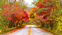 Beautiful Tree Arch in Autumn (patuffel) Tags: south korea tree arch trees forest foliage autumn 2018 maple red yellow orange road street leica m10 summicron path 50mm