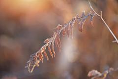 Frosty Mornings... (KissThePixel) Tags: fern red plant garden leaf bokeh bokehlicious macro makro closeup simplebeauty depthoffield dof dofalicious nikon nikond750 sunrise sunlight soft softbokeh longacremanor winter january frost cold flora winterflora