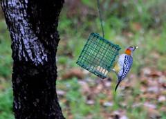 Golden Fronted Woodpecker (austexican718) Tags: texas native wildlife centraltexas hillcountry fauna tree backyard birdfeeder woodpecker bird nature