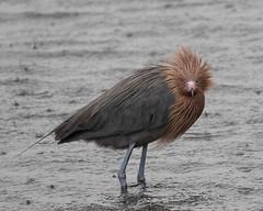 Reddish Egret on an Overcast, Rainy Day (Mark Schocken) Tags: egrettarufescens reddishegret egret markschocken merrittislandnwr