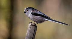 Long-tailed Tit (Steve D'Cruze) Tags: longtailed tit aegithalos caudatus nikon d500 sigma 150600mm