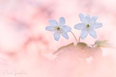 ~ ANEMONE SPRING ~ (Mark James Ford) Tags: sigma foveon sigmaphoto sdqh sdquattroh anemonenemorosa wildflower woodflower light spring white woodanemone petal