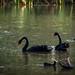 #47/365 Black Swans