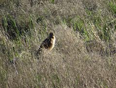 Northern Harrier (stonebird) Tags: northernharrier ballonawetlandsecologicalreserve areab img7972 circushudsonius