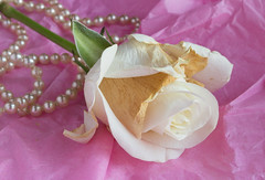a single pale rose 02 feb 19 (Shaun the grime lover) Tags: flower white pale rose pink colour color pearls tabletop pearl