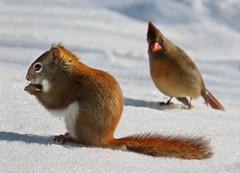 Squirrel photobomb (Meryl Raddatz) Tags: bird squirrel nature naturephotography snow canada