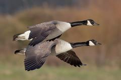 "Canada goose ""Branta canadensis"" (michael.jh) Tags: canadagoose brantacanadensis sigma500mmf4 birds bird nature michaeljh canoneos7dmark11 slimbridge wwt"