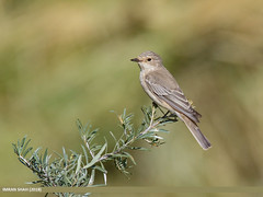 Spotted Flycatcher (Muscicapa striata) (gilgit2) Tags: avifauna birds borit canon canoneos7dmarkii category fauna feathers geotagged gilgitbaltistan gojal imranshah location pakistan species spottedflycatchermuscicapastriata tags tamron tamronsp150600mmf563divcusd wildlife wings gilgit2 muscicapastriata