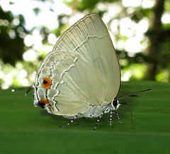 Strephonota ambrax (Over 5 million views!) Tags: butterfly lycaenidae peru strephonotaambrax butterflies insect