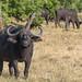 Kaffernbüffel / Cape Buffalo