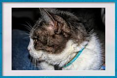 My Old cat (gill4kleuren - 18 ml views) Tags: pussy puss poes chat mieze katje gato gata gatto cat pet animal kitty kat pussycat poezen