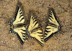 Canadian Tiger Swallowtails - Papilio canadensis (Papilionidae, Papilioninae, Papilionini) 112n-2826 (Perk's images) Tags: canadiantigerswallowtail papiliocanadensis papilionoidea butterfly insect nearctic elkislandnationalpark lamont alberta canada animalplanet