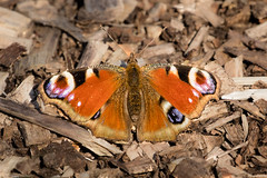 Peacock in Better Shape (PedroLanders) Tags: yelverton berealston denhamwoods devon butterfly insect