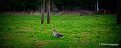 Greylag Goose (Rollingstone1) Tags: greylaggoose grass green trees field meadow nature bird wild outdoor dumbarton scotland