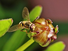 Hover Fly (Hugo von Schreck) Tags: hugovonschreck hoverfly schwebfliege macro makro insect insekt canoneos5dsr greatphotographers tamronspaf180mmf35dildifmacro11
