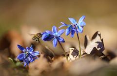 Bienchen und Blümchen (KaAuenwasser) Tags: bienchen blümchen biene blume blaustern makro boden insekt blau pflanze frühling sonne licht