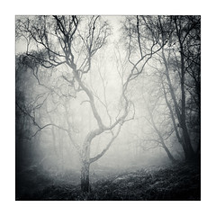 Stand Alone 2 (gerainte1) Tags: hasselblad501 portra400 film blackandwhite trees woodland woods winter mist yorkshire