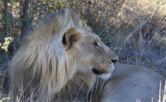 IMG_0187 (Sula Riedlinger) Tags: lionpantheraleo big5 gamelodge gamedrive nature naturereserve safari wildlife wildlifephotography southafricanwildlife southafricannature makanyanesafarilodgesouthafrica madikwegamereservesouthafrica northwestprovincesouthafrica southafrica southafrica2015