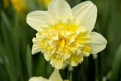 Narcis (ToJoLa) Tags: 2019 spring voorjaar lente bloemen blossom flower helmond brouwhuis pink yellow sky nature natuur natuurgebied ontrack zon maart narcis geel groen green closeup macro makro