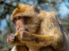 Barbary macaque, Gibraltar (Classicpixel (Eric Galton) Photography Portfolio) Tags: macaquedebarbarieàgibraltar gibraltar macaque monkey singe animal animaux vivant fourrure manger eating eat europe magot ericgalton classicpixel