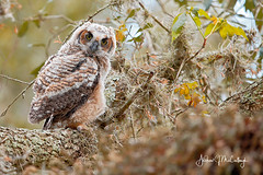 Great Horned Owlet (Let there be light (A.J. McCullough)) Tags: texas texasbirds owls owlet greathornedowl birds brazosbend brazosbendstatepark nesting featheryfriday