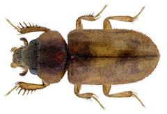 Heterocerus philippensis javanicus Grouvelle, 1896 (urjsa) Tags: coleoptera kaefer beetle insect heteroceridae heterocerus philippensis heterocerusphilippensis india indien goa taxonomy:binomial=heterocerusphilippensis taxonomy:order=coleoptera taxonomy:family=heteroceridae taxonomy:genus=heterocerus taxonomy:species=philippensis geo:country=india coleopteraus southasia suedasien javanicus taxonomy:trinomial=heterocerusphlippensisjavanicus
