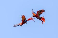 Crazy Ara rouge..Costa Rica album* Zoomer pour mieux voir la scène.. (geolis06) Tags: geolis06 amérique america costarica nature oiseau bird pájaro ave nikon nikond7200 sigma150600mmf563contemporary aramacao scarletmacaw ararouge naturecostarica oiseauxcostarica
