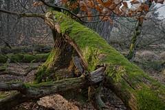 Mönchbruch (nordelch61) Tags: mönchbruch naturschutzgebiet hessen mörfeldenwalldorf wald baum bäume totholz moos