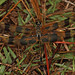 Halloween Pennant - Celithemis eponina, Navy Wells Pineland Preserve, Homestead, Florida
