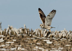 SEO (Willbury not about much.) Tags: sigma short eared owl outdoor cotswolds nikon d500 flying hunting wall