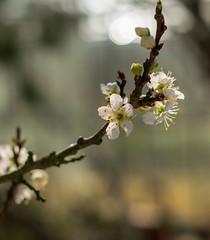(akatsoulis) Tags: macro countryside blossom trees