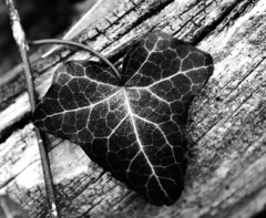 Leaf (Simone R) Tags: leaf black blackandwhite blackwhite sigma30mmf14 olympus omd em5 spring abstract abstraction microfourthird m43 nature bw bnw