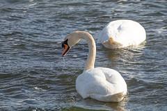 Mute Swans (Laura Erickson) Tags: anatidae rhodeisland muteswan birds species places anseriformes cygnusolor