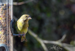 Greenfinch (pollylew) Tags: greenfinch garden bird wildlife seeninthegarden gardenwildlife