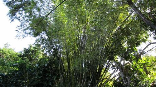 Jamaica -  Ocho Rios:  in a impressive bamboo grove