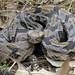 Timber Rattlesnake 1230
