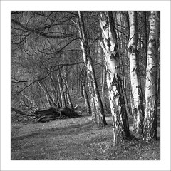 Hasselblad 500 C/M with Zeiss Sonnar 150mm f/4, Rollei Superpan 200 (Dierk Topp) Tags: 6x6 bw bäume rodinal rolleisuperpan200 analog hasselblad500cm monochrom sw trees wald wood zeiss sonnar 150mm f4
