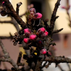 Pfirsich-Blüte demnächst ! / Peach blossoms soon ! (rudi_valtiner) Tags: knospe bud blüte blossom frühling spring springtime flatz niederösterreich loweraustria österreich austria autriche pfirsich peach obstbaum fruittree fe